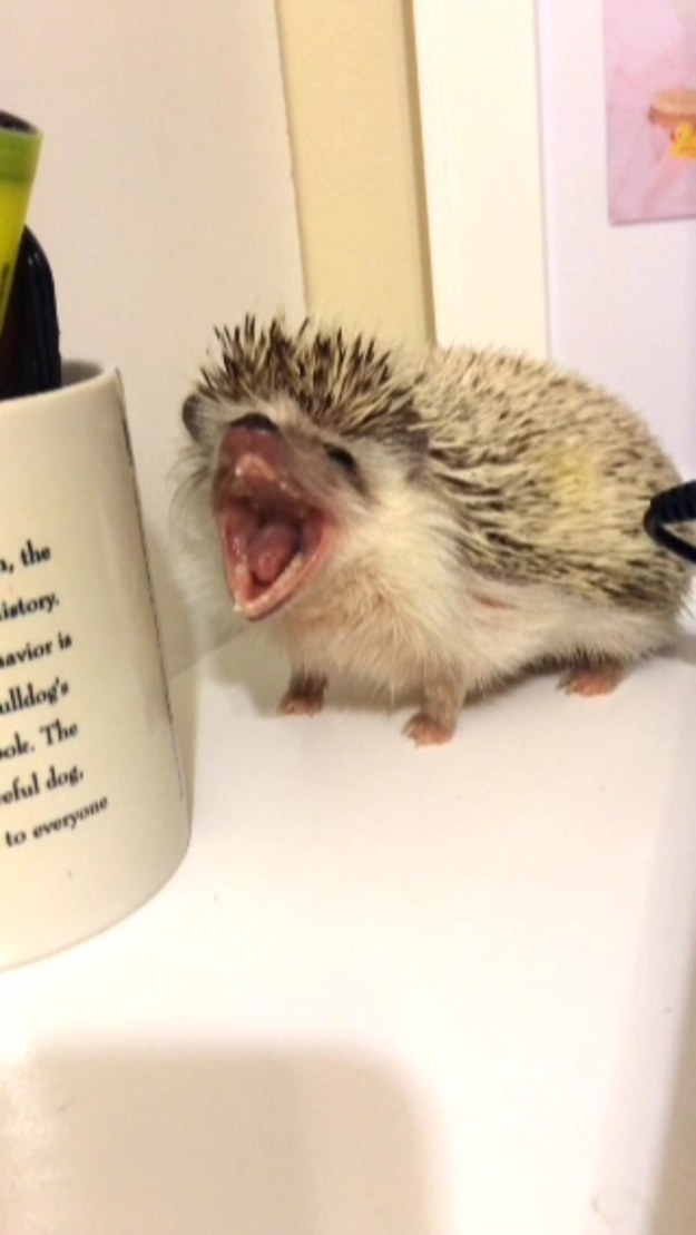 Hedgie coming in hot to bring a yawn right to you through your screen.