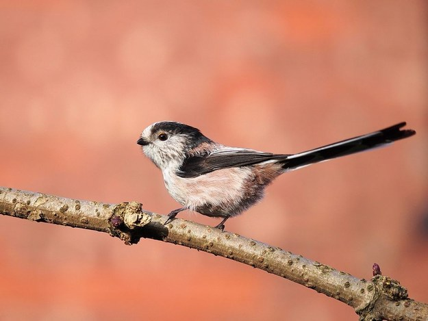 Here's a nice long-tailed tit for ya...