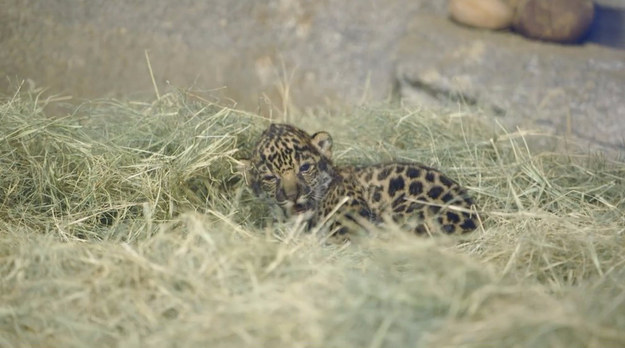 This Sleepy Baby Jaguar Is All Of Us