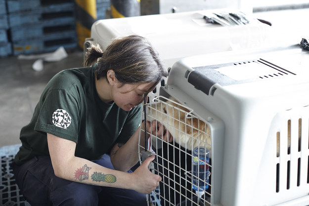 Over the past couple of days a total of 57 dogs have made their way to San Francisco after being rescued by Humane Society International from a meat farm in South Korea.