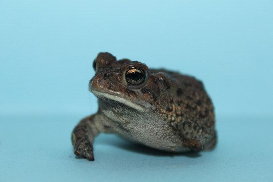 Pudge is a one-armed toad owned by 11 year-old Floridian Ashton Stalvey.