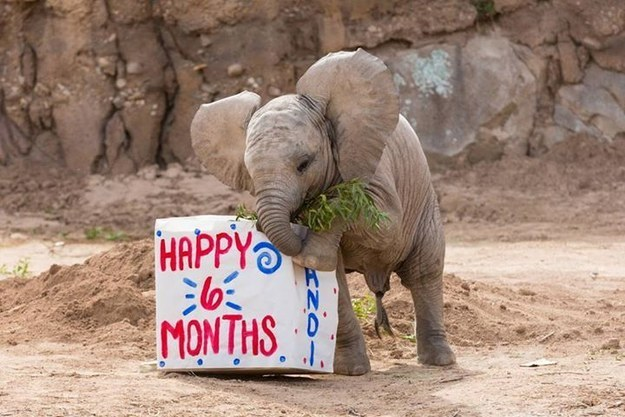 This Baby Elephant Is Excellent At Birthdays