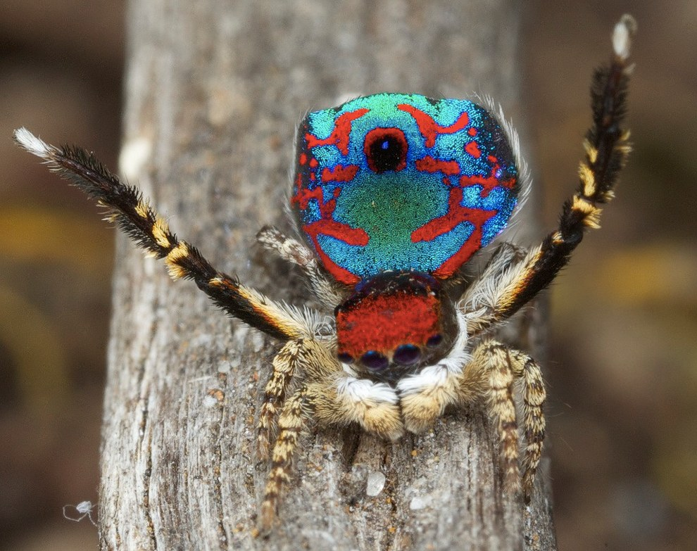 """""""I am convinced that in a few years from now these spiders will be as iconic for Australia as koalas and kangaroos are today,"""" Dr Otto told BuzzFeed News."""
