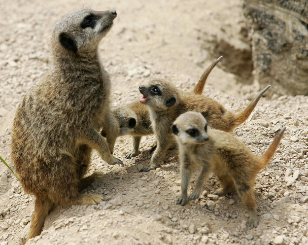 16 Meerkats You Should Be Looking At
