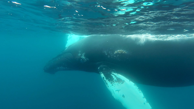 Snorkeling With Humpbacks