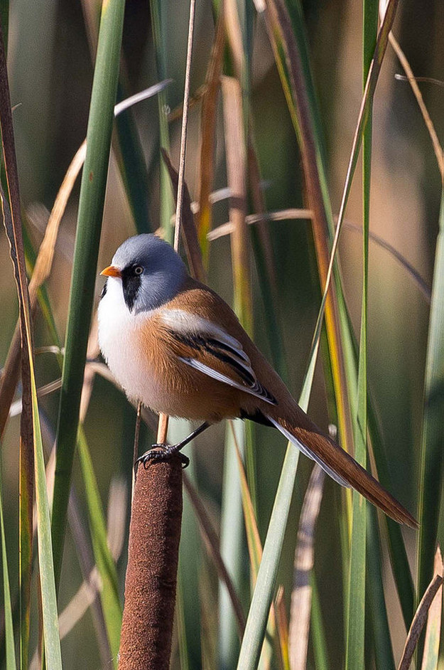 Some tits are male and bearded. Bearded male tit, if you will.