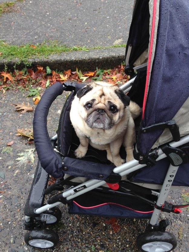 The human who got a stroller for her arthritic pug so she could still go on walks.
