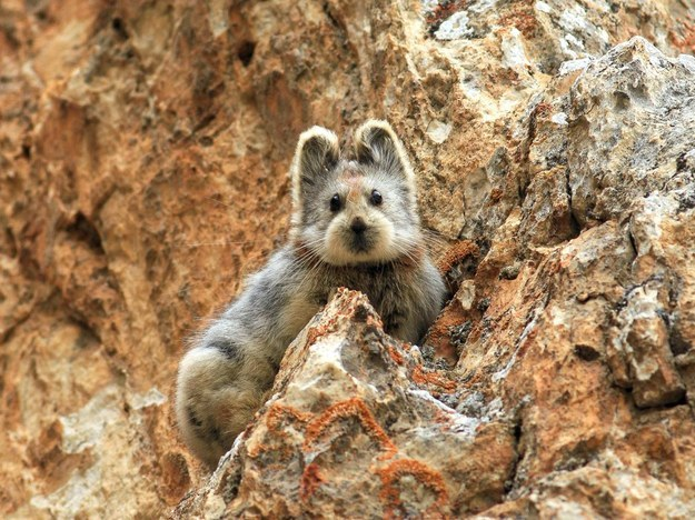 The ili pika has long eluded scientist Weidong Li, who first discovered the creature in the mountains of northwestern China more than 20 years ago. Now, after returning over many years, he has finally photographed the rare animal.
