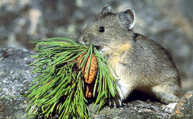 The ili pika is related to other pika found in North America. The animals are known to live at very high elevations around 9,000 feet.
