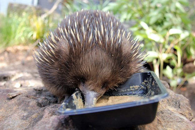 The new diet replaced a traditional gruel that was hard to prepare and lacked in nutrition, ensuring that these spiny creatures get the proper nourishment they need, fast.
