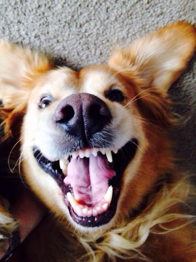 23 Reasons Golden Retrievers Are The Goofiest Member Of The Animal Kingdom