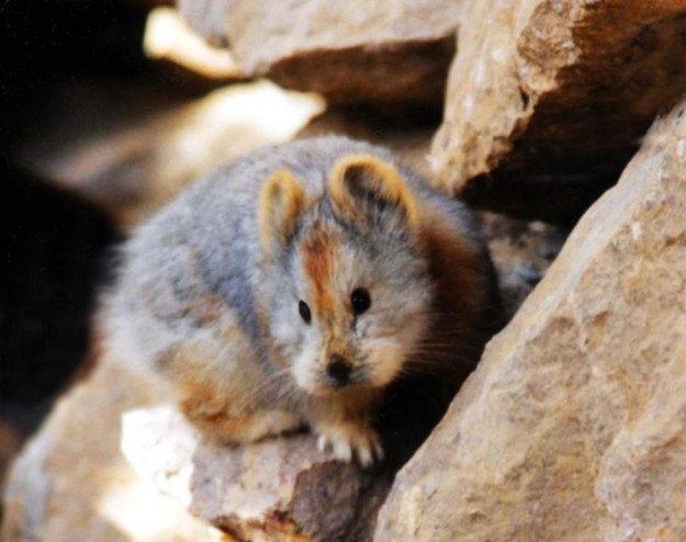 Then, in the summer of 2014, he went back to the Tianshan Mountains with a group of volunteers and finally rediscovered the adorable animal.