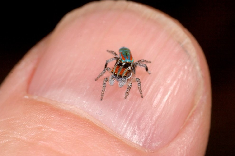 These adorable spideys are actually VERY small - only about 5mm long.