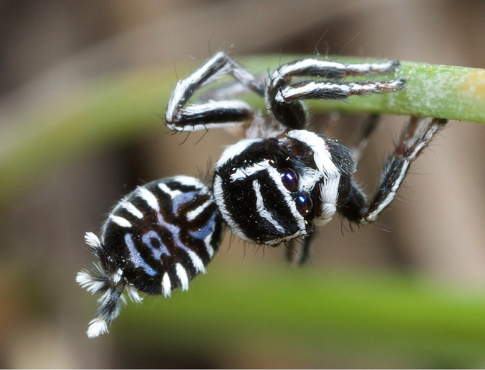 These surprisingly majestic spiders - nicknamed Skeletorus and Sparklemuffin - were found in the Wondul Range National Park.