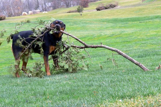They are just too ambitious when playing fetch.