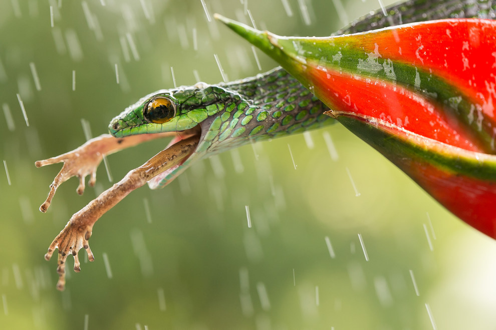 This astonishing shot of a snake swallowing a frog in the rain in Costa Rica that displays beauty can even be found in death: