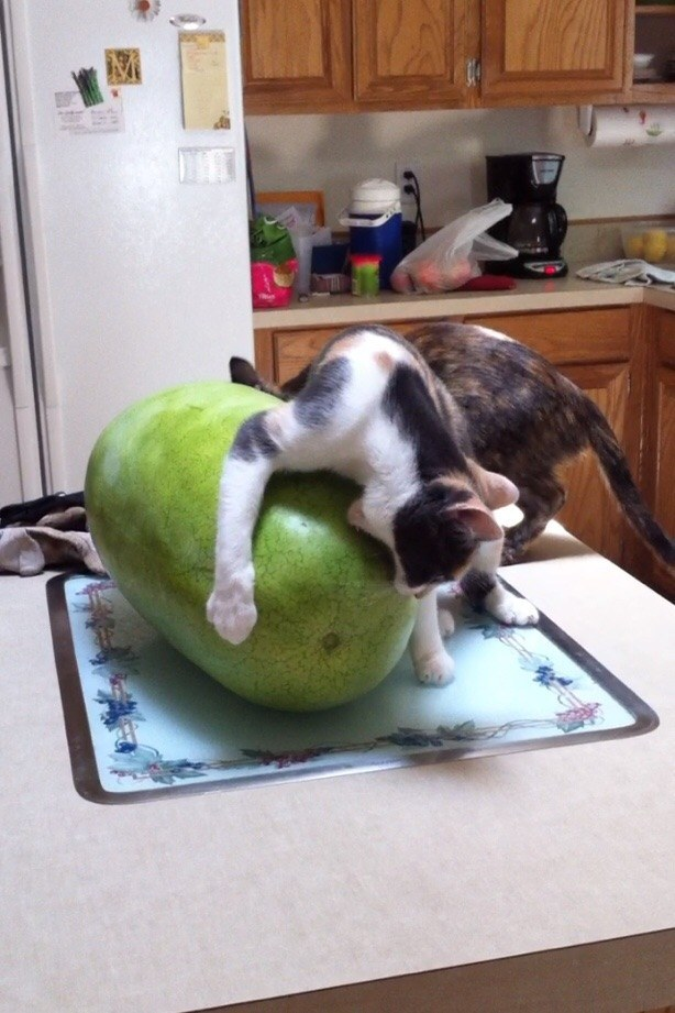 This cat going about watermelons entirely wrong.