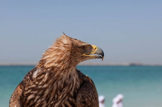 This is Darshan, an eagle with the group Freedom Conservation, which works to raise awareness about endangered birds of prey.