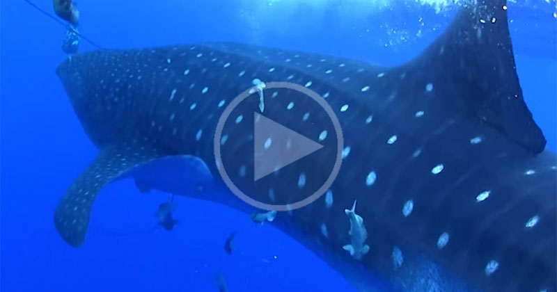 Whale Shark Comes Out of Nowhere