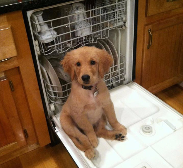 23 Times Golden Retriever Puppies Were The Biggest Dorks On Earth