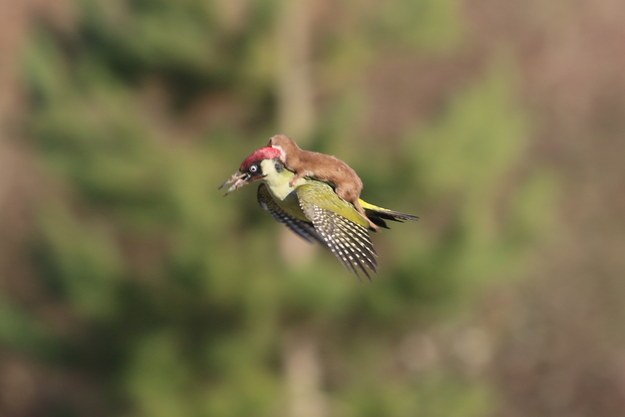 Yesterday a weasel rode a woodpecker and it was beautiful and brutal.