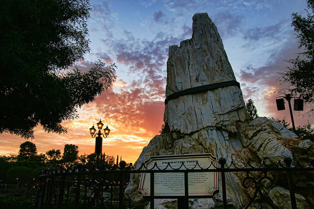 A petrified tree, which the park claims to be 55-70 million years old, sits near the Golden Horseshoe in Frontierland.