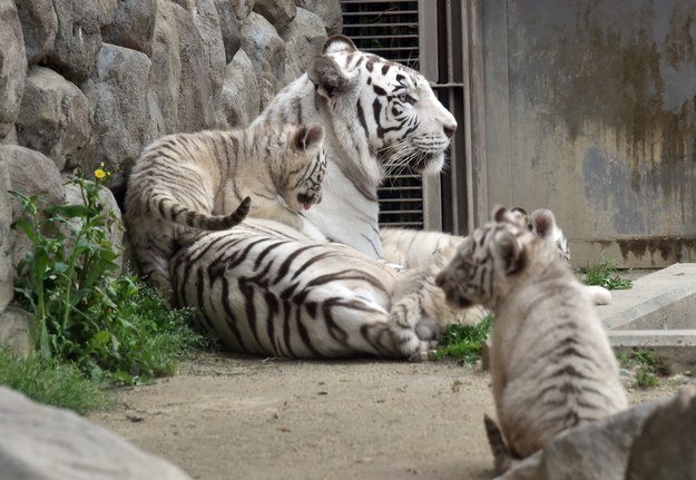 At a trial public appearance, the cubs climbed over their mother and each other.