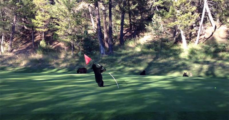 Baby Bear Wanders Onto Golf Course, Mistakes Flagstick for Wobbly Tree