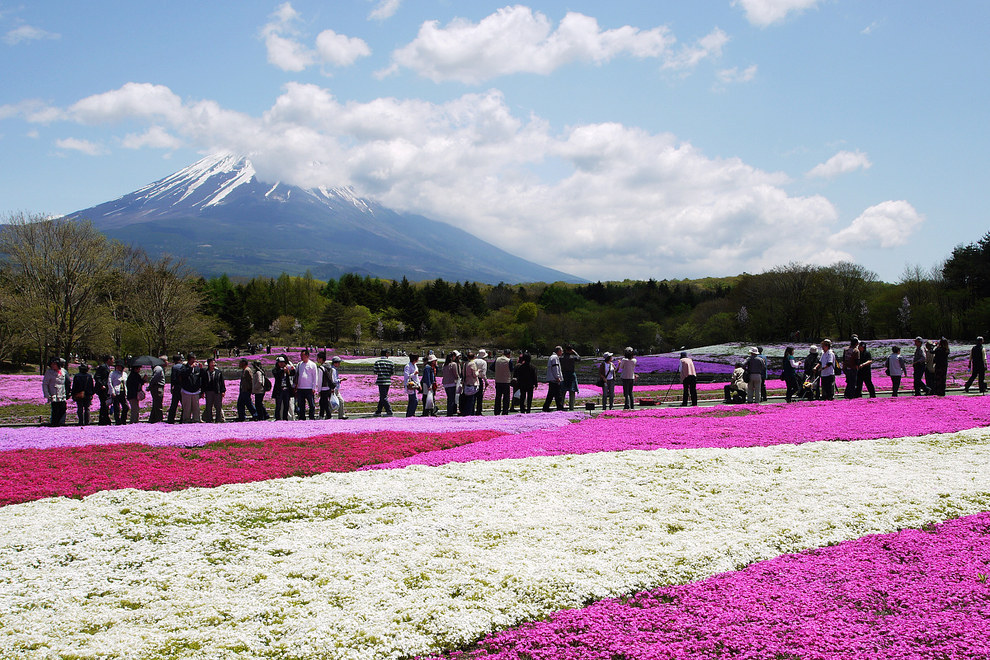 Fuji Shibazakura festival gardens, near Mt. Fuji in Japan