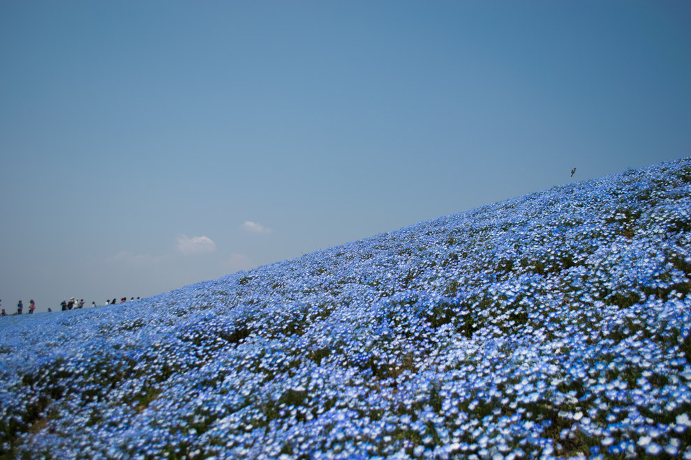 Hitachi Seaside Park near Hitachinaka, Ibaraki in Japan