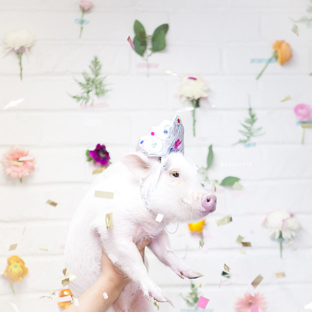 Long live Hamlet, the cutest & most stylish piglet of them all.