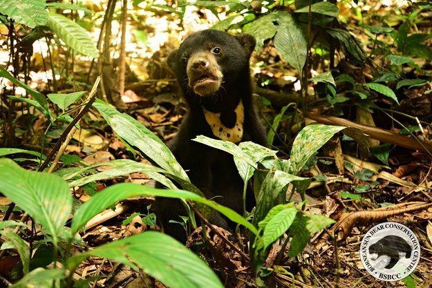 Luckily, she was brought to Bornean Sun Bear Conservation Center (BSBCC) where she's been taken care of for the past few months with the goal of reintroducing her to the wild.