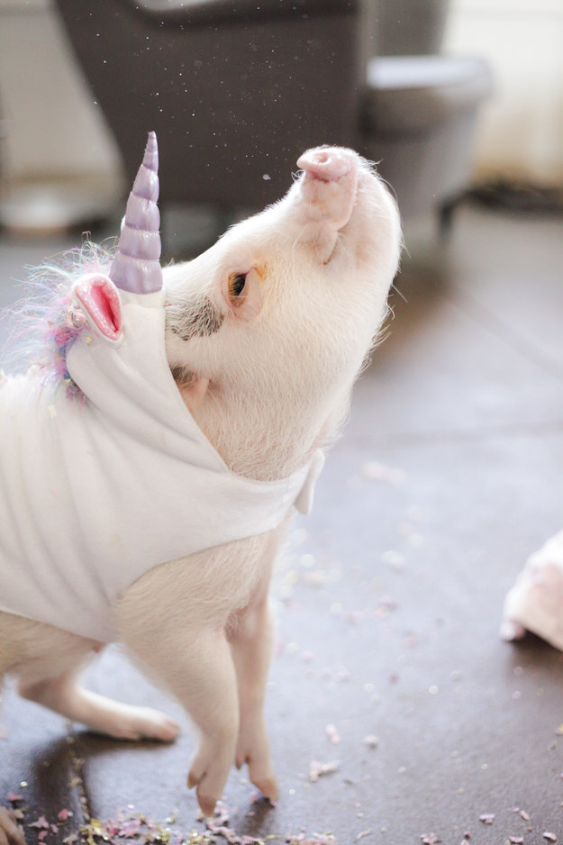 This Piglet Dressed As A Unicorn Is Making Everyone Cry Rainbows