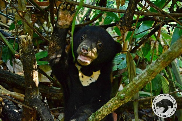 18 Pictures Of An Ecstatic Orphaned Sun Bear Returning To The Wild
