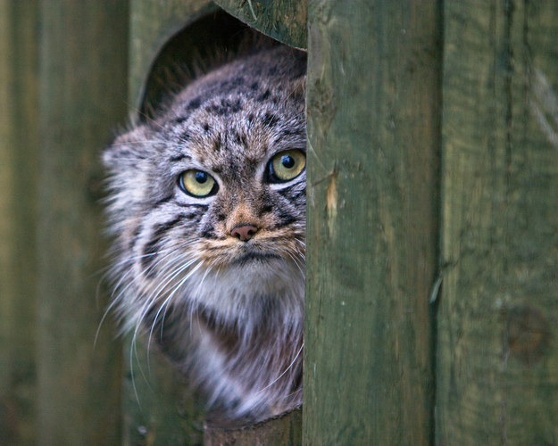 Pallas' cats don't want you all up in their business.