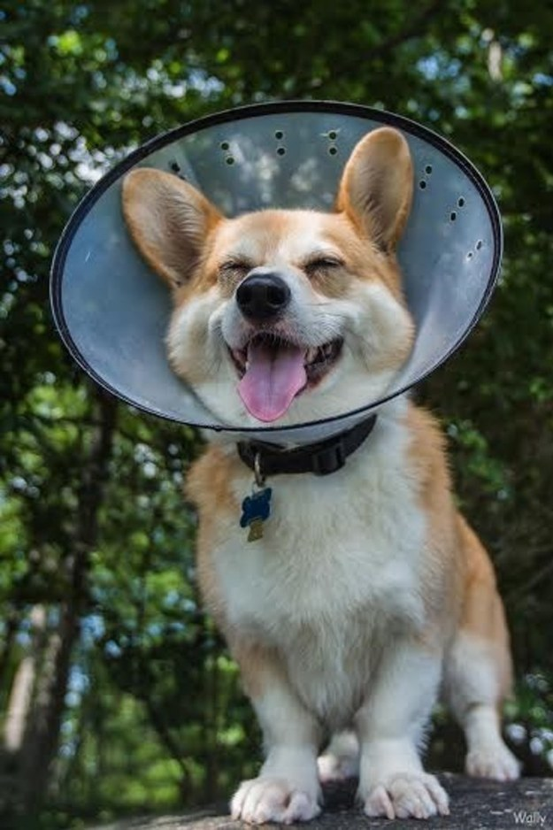 """Even the cone of shame can't stop this happy guy."""