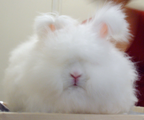 11 Angora Rabbits That Are Feeling Their Look