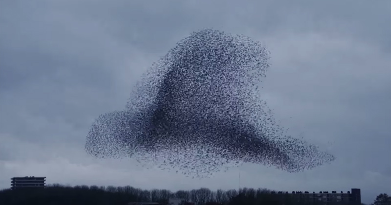 The Coordinated Beauty of Thousands of Birds Moving In Sync