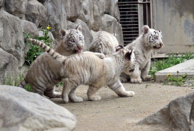 The male cubs were born Jan. 25 at the Tobu Zoo in Miyashiro, which is north of Tokyo.