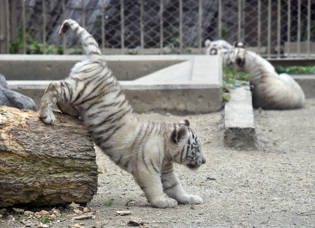 The playful li'l guys will make their public debut on Wednesday.