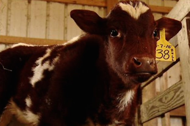 This Cow Was Born With Its Heart In Its Neck And His Name Is Cardio Brisket