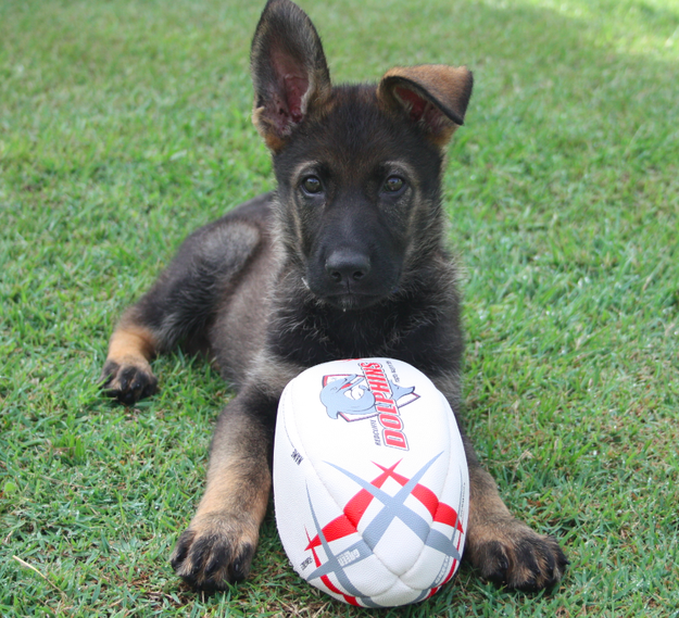 This Police Puppy Will Make You Cry With Cuteness