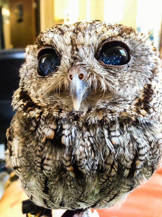zeus blind owl with starry eyes rescued 7