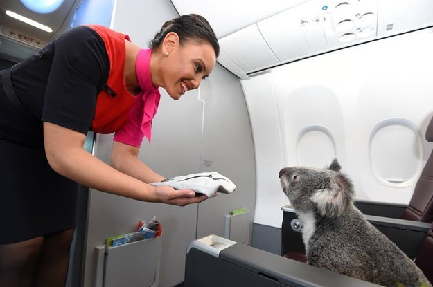 This Koala Is The Cutest Plane Passenger Of All Time