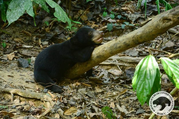 To follow Kala's story and learn more about the Bornean Sun Bear Conservation Center check out their Facebook page.