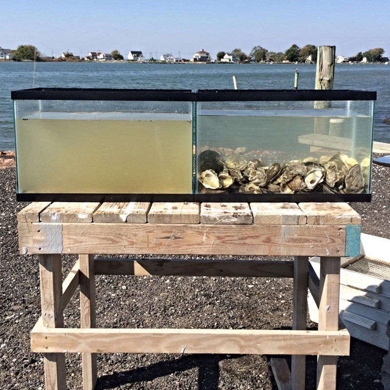 Two Tanks Filled with the Same Water but One has Oysters In It