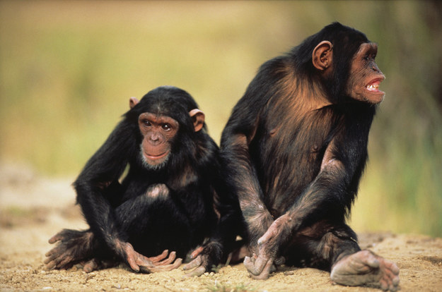 "U.S. Court Recognizes Chimpanzees As ""Legal Persons"" For First Time – BuzzFeed News"