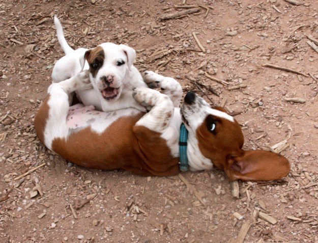 When this floppy eared buddy accepted defeat to a small puppy.