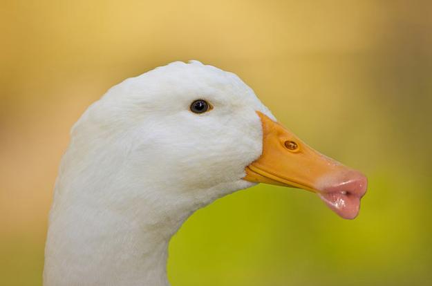 10 Ducks With Human Lips
