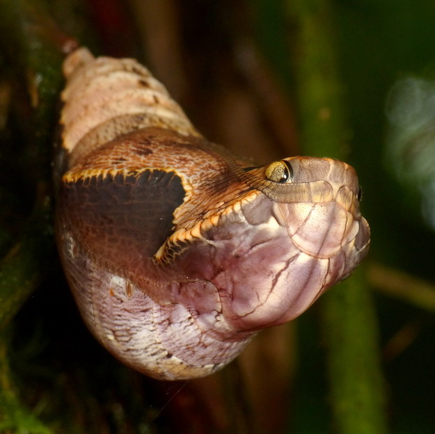 Behold one of the most clever disguises in nature: a caterpillar that disguises itself as a snake head.